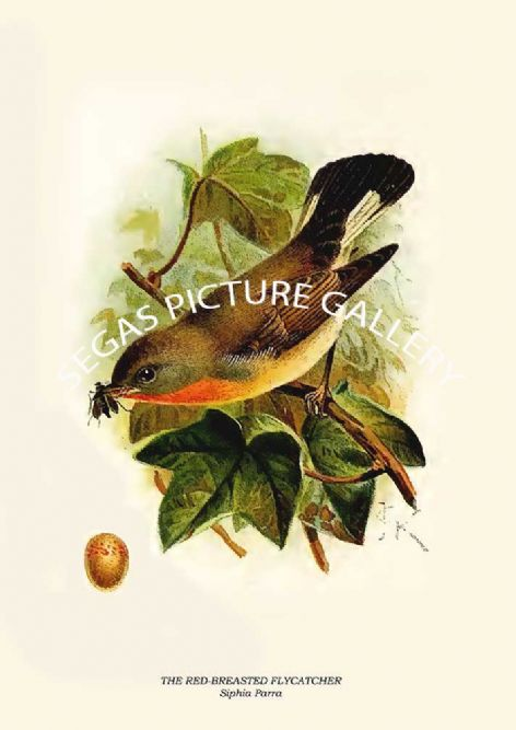 Fine art print of the THE RED-BREASTED FLYCATCHER - Siphia Parra by R. Bowdler Sharpe (1895)
